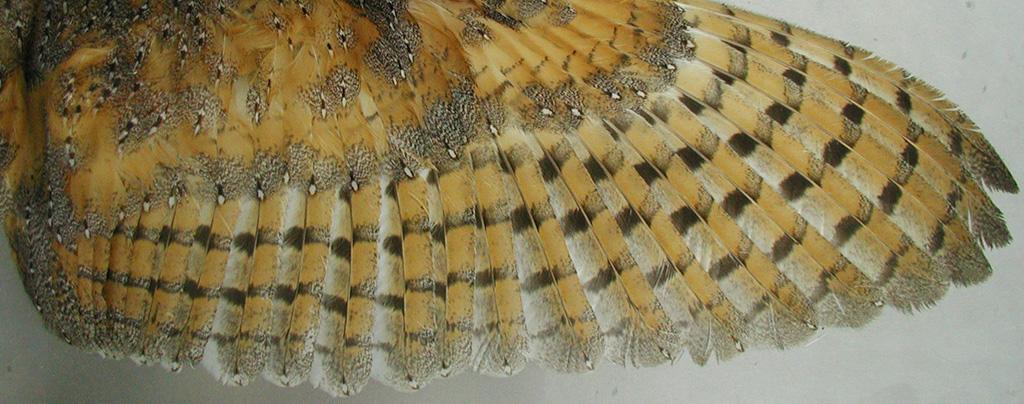 Barn owl feathers as biomonitors of mercury: sources of variation in sampling procedures