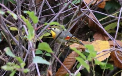 Natural expansion of the exotic red-billed leiothrix in Europe