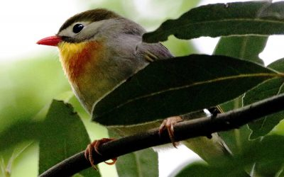 Impact of red-billed leiothrix song in native birds