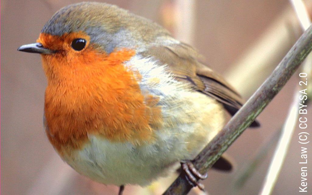 Voando para lá e para cá: Passeriformes promovem conectividade entre galerias ripícolas e zonas adjacentes