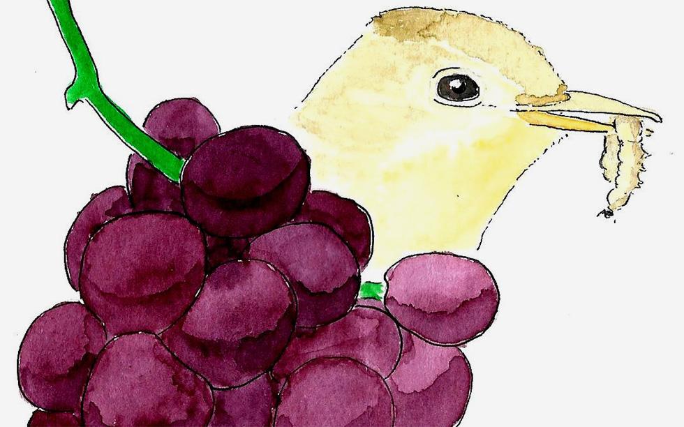 As características das vinhas influenciam o potencial das aves como aliadas no controlo de pragas