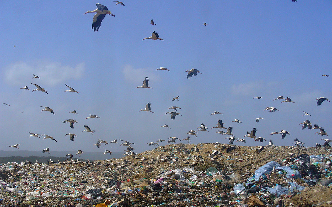 Landfills as food sources for storks: an opportunity or a threat?