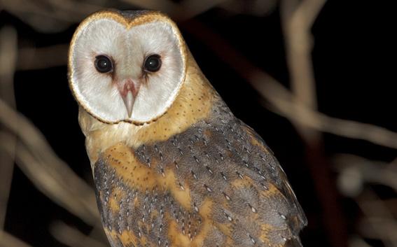 Ajude-nos a encontrar a coruja-das-torres!… e outras aves de rapina.